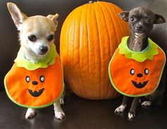 Halloween Chihuahuas...look just like my Poco and Keona.