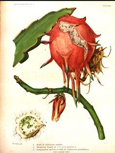 Fruit of Hylocereus. Selenicereus grandiflorus (L.) Britton & Rose night blooming Cereus Britton, N.L., Rose, J.N., The Cactaceae