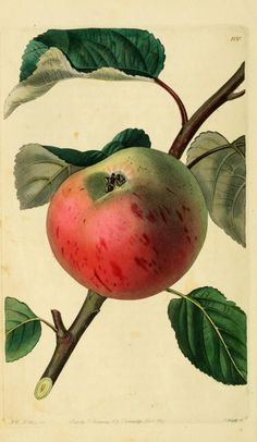 Irish Peach Apple, from The Pomological Magazine... fruit cultivated in Great Britain. Edited by John Lindley (1799–1865)
