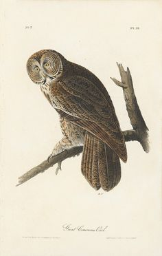 Octavo First Edition, circa 1839, Plate: 35 Great Cinereous Owl