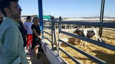 La Región de Murcia cuenta con 25 explotaciones de ganado vacuno con 7.000 cabezas productoras de leche