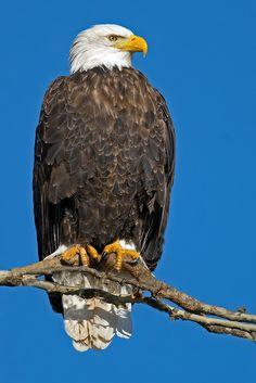 American Bald Eagle by Brian E Kushner**