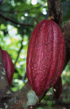 cacao pod, Venezuela  el mejor chocolate mi Venezuela  http://www.chrischocolates.com/