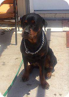 12/06/15- Gilbert, AZ - Rottweiler. Meet Eden, a dog for adoption. http://www.adoptapet.com/pet/13040190-gilbert-arizona-rottweiler