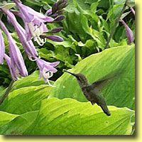 Contrary Mary's Specialty Plants | Hostas