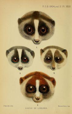 faces of lorises, Alfred Grandidier 1904