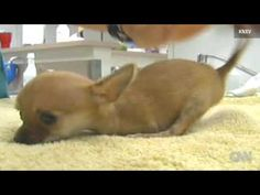 !!TWO-LEGGED CHIHUAHUA PUPPY DEFIES ODDS!! - YouTube