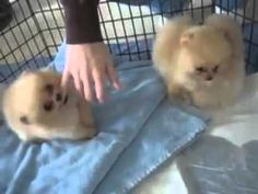 Cute Pomeranian Puppies Look Like Furballs *** Check out this great article. English Bulldog Funny, Funny Bulldog, Cute Pomeranian, Dog Grooming, Puppies, Cats, Youtube, Check, Animals