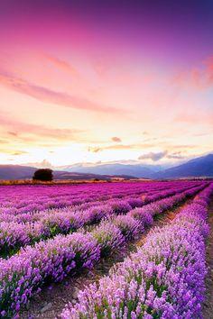 Lavender field at dusk in Central Balkan, Bulgaria.