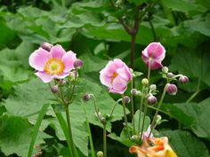 Anémone du Japon fleuri dans les jardins de la place de la Nation, Paris 12e (75), 7 juillet 2012, photo Alain Delavie  http://www.pariscotejardin.fr/2012/07/anemone-du-japon-precoce-ou-serait-ce-deja-lautomne-debut-juillet/