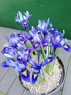 Iris Reticulata, Plants, Plant, Planets