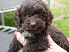 cockapoo | f1 cockapoo puppies £ 600 posted 6 months ago for sale dogs cockapoo ...