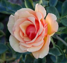 List of rose cultivars named after people - Wikipedia, the free encyclopedia