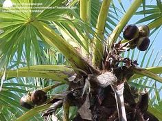 The sugar palm, also known as toddy palm or the Cambodian palm, is native to South and Southeast Asia. The tree is a large palm, which can grow up to 30m, has a large fan canopy and can live up to 100 years. The fruit can be up to 10cm in diameter and has a husk. The top of the fruit needs to be cut off to reveal juicy, gelatinous seed sockets. The fruit has a taste similar to lychees but is a little less sweet.