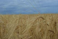 Fields of wheat Wheat Fields