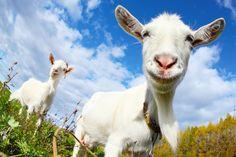Happy Bearded Goat Friends - Goat Milk Goat