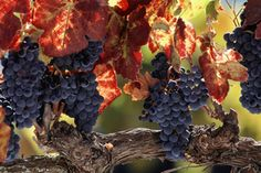 The warm autumn has seen grapes thriving. Photo / Thinkstock