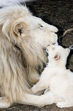 Male White Lion And Cub by Tony Camacho