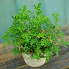 Scented Geranium - for the bedroom! Comes in these scents: apricot, rose, nutmeg, cinnamon, lemon, mint, pineapple, ginger, lime, coconut, chocolate and more!!