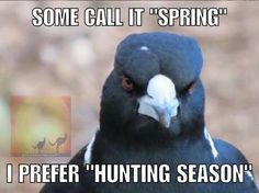 For those not from Australia . this is a Magpie . In spring when it is nesting it will swoop down at your head if you walk to close to the nest. Hunting Season, Beautiful Places In The World, Magpie, Nest, Australia, Birds, Seasons, Spring, Nest Box