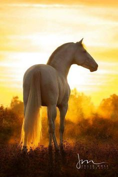 Stunning white horse in sunset. Beautiful horse photography.
