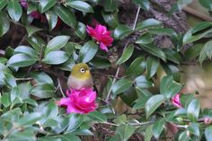 On Camellia Sasanqua ! , Japanese White-eye by Mubi.A