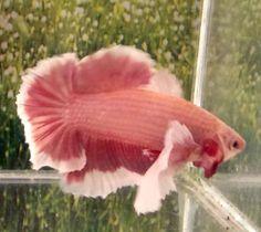 #87 Thai Import Red Butterfly Dumble Ears Halfmoon Plakat Male Betta Live Fish