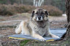 Die nachhaltige Liegedecke für Hunde für unterwegs gefällt dem Zausel! Dogs, Animals, Hang In There, Animales, Animaux, Doggies, Animal, Animais, Dieren