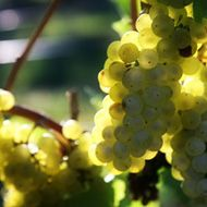 Grapes of Sunset Hills Vineyard in Purcellville, Virginia.