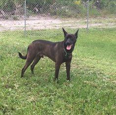 Lost Dog - German Shepherd Dog - Hialeah, FL, United States