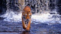 Waterfall River Tiger