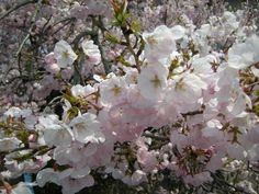 sakura 〜 cherry blossoms