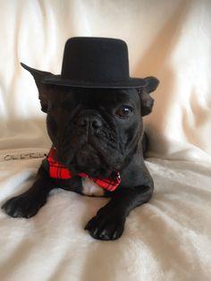 Yes, I' a Gentleman❣️ Odin der Frenchie  French Bulldog