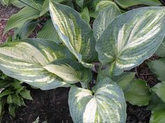 Hosta 'Wicked Bad'