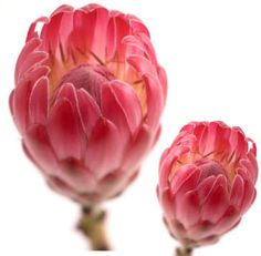 The Protea is the national flower of South Africa