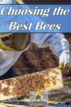 How to choose the best bees for your hive. #carolinahoneybees #honeybees #beekeepingtips