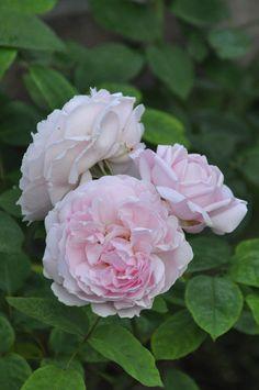 'Redoute'   Shrub. English Rose Collection. David C. H. Austin, 1992    Flickr - © Mimmi Elg