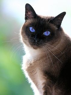 History of Siamese Cat.Click the picture to read #SiameseCat