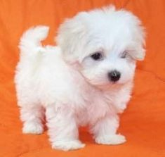 teacup maltese puppies - Google Search