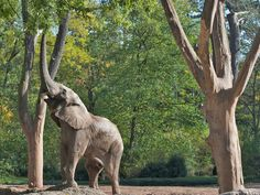 An elephant at Basel Zoo. It's Switzerland's oldest and biggest zoo (in terms of numbers of animals).