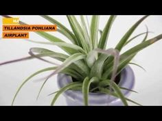Name: Tillandsia pohliana Airplant  Origin: South America  Flower: Purple  Growth: Grows on trees in its natural habitat, Tillandsias can be placed in terrariums, glued or sitting in driftwood, and hung in unique pottery.  Care: Mist 2-3 times a week with a spray bottle. Use filtered water or tap water that has sat long enough for the chlorine to leave.  Never use distilled water because it is too pure and Tillandsias need some minerals.