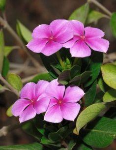 Madagascar Periwinkle Flower - Catharanthus roseus
