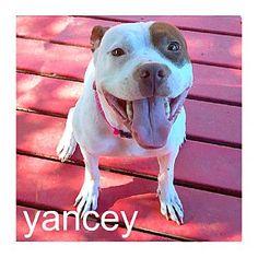 Dallas, TX - American Staffordshire Terrier/American Pit Bull Terrier Mix. Meet Yancey, a dog for adoption. http://www.adoptapet.com/pet/15866460-dallas-texas-american-staffordshire-terrier-mix