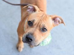HAZEL - A1105187 - - Brooklyn  TO BE DESTROYED 03/20/2017 *PUBLICLY ADOPTABLE*  A volunteer writes: The day we meet, Hazel has a cone around her neck. Even so, she hops determinedly out of her kennel. We walk clumsily, with the cone scraping the concrete and bumping up against various obstacles, but Hazel is focused on sniffing every tree branch and sidewalk fissure. After all, she is a good part hound, and exploring is in her DNA. She does her business quickly, the better