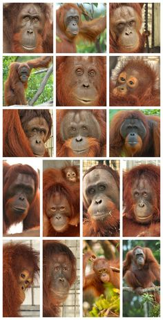Orangutan News: BOS Releases Orangutans into Forest on Indonesian Independence Day