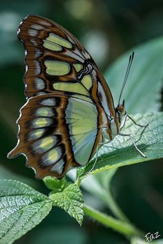 Excellent pictures of those most beautiful butterfly wings - Tierfotografie - Butterfly Pictures, Butterfly Flowers, Butterfly Wings, Green Butterfly, Most Beautiful Butterfly, Beautiful Bugs, Beautiful Pictures, Beautiful Creatures, Animals Beautiful