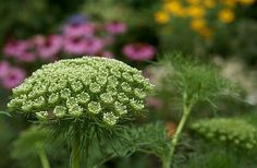Commonly known as Queen Anne's Lace or simplyLace Plant, Anni Majus is a good plant to attract butterflies and useful insects for gardens