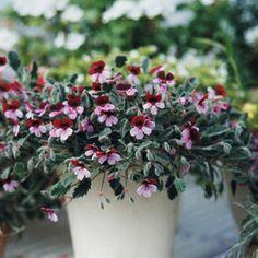 Pelargonium violareum `Violetty`