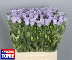 Campanula lavender