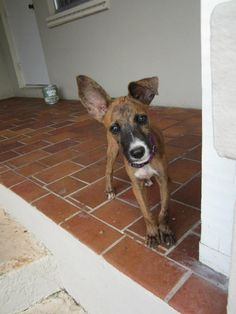 Randomly Pinned from Yahoo images! Rescue a Potcake Dog – Adopt » brindly 4